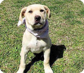 Labrador Retriever Mix Puppy for adoption in Port St. Joe, Florida - Deandra