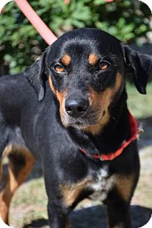 Rottweiler/Hound (Unknown Type) Mix Dog for adoption in Bradenton, Florida - Rosie