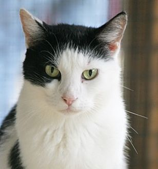 Domestic Shorthair Cat for adoption in North Fort Myers, Florida - Mambo