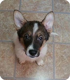 Shepherd (Unknown Type)/Great Pyrenees Mix Puppy for adoption in Regina, Saskatchewan - Lazer