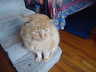 Domestic Mediumhair Cat for adoption in Central Islip, New York - Tangerine