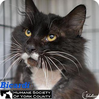 Domestic Longhair Cat for adoption in Fort Mill, South Carolina - Bicardi