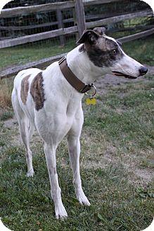 Greyhound Dog for adoption in Monroe, Michigan - CHIPPEWA