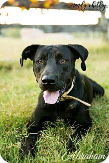 Labrador Retriever Dog for adoption in Columbia, Tennessee - Abraham