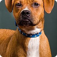 Adopt A Pet :: Copper - Owensboro, KY