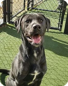 Labrador Retriever Mix Dog for adoption in Chesapeake, Virginia - Scooby