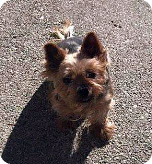 Yorkie, Yorkshire Terrier Mix Dog for adoption in West Bloomfield, Michigan - Pixie - Adopted!