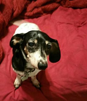 Dachshund Dog for adoption in Dallas, Texas - Krissy