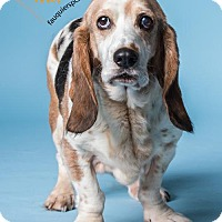 Basset Hound Mix Dog for adoption in Midland, Virginia - Lady