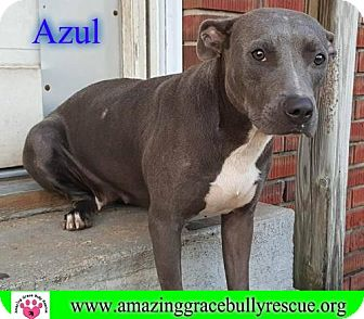 American Pit Bull Terrier Mix Dog for adoption in Pensacola, Florida - Azul