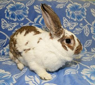 Rhinelander for adoption in Chesterfield, Missouri - Coco