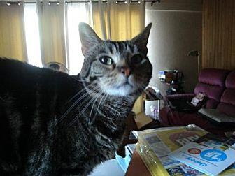 Domestic Shorthair Cat for adoption in Walnut Creek, California - Sequoia*