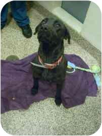 Retriever (Unknown Type) Mix Dog for adoption in North Charleston, South Carolina - Hailey