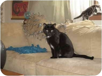 Domestic Shorthair Cat for adoption in Loveland, Colorado - Sherry
