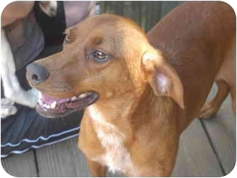 Hound (Unknown Type) Mix Dog for adoption in Rochester, New Hampshire - Momma LOWERED FEE