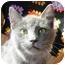 Photo 1 - Russian Blue Cat for adoption in Lexington, Missouri - Victor
