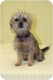 Yorkie, Yorkshire Terrier/Poodle (Miniature) Mix Puppy for adoption in Westminster, Colorado - DARLA