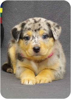 Catahoula Leopard Dog/Labrador Retriever Mix Puppy for adoption in Westminster, Colorado - LUNA
