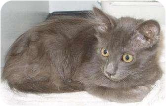Domestic Mediumhair Kitten for adoption in Mt. Vernon, Illinois - Hootie
