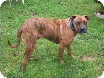 Boxer Mix Dog for adoption in Foster, Rhode Island - Lucky