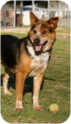 Australian Cattle Dog Mix Dog for adoption in Stillwater, Oklahoma - Clyde