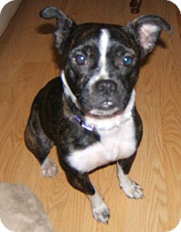Boston Terrier Mix Dog for adoption in Brooklyn, New York - FLOSSY