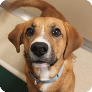 Labrador Retriever/Hound (Unknown Type) Mix Dog for adoption in Naperville, Illinois - Aldo
