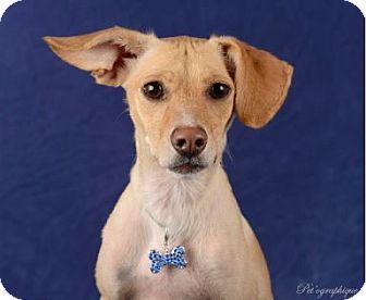 Beagle Mix Dog for adoption in Las Vegas, Nevada - Troy