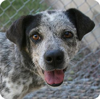 Blue Heeler Mix Dog for adoption in Lufkin, Texas - Pearl