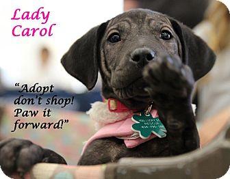Labrador Retriever/Vizsla Mix Puppy for adoption in Alpharetta, Georgia - Carol