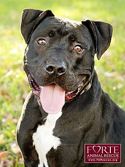 American Staffordshire Terrier Mix Dog for adoption in Marina del Rey, California - Ajax