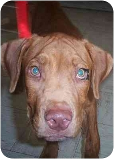 American Staffordshire Terrier/Bloodhound Mix Puppy for adoption in Scottsdale, Arizona - Bardot