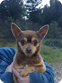 Chihuahua Dog for adoption in Reno, Nevada - Winchester
