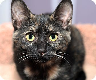 Domestic Shorthair Kitten for adoption in Royal Oak, Michigan - PIPER
