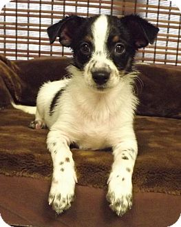 Terrier (Unknown Type, Small) Mix Puppy for adoption in Fredericksburg, Texas - Finley