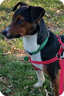 Beagle/Jack Russell Terrier Mix Dog for adoption in Union Grove, Wisconsin - Diego