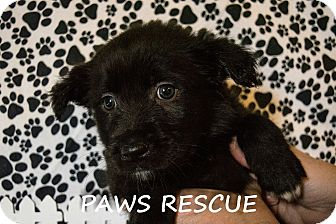 Australian Shepherd/Labrador Retriever Mix Puppy for adoption in Forest Hill, Maryland - Fudge