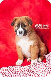 St. Bernard/Shar Pei Mix Puppy for adoption in Cincinnati, Ohio - Kramer