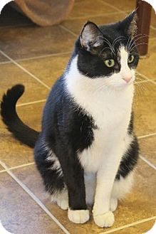 Domestic Shorthair Cat for adoption in Cumming, Georgia - Fabio