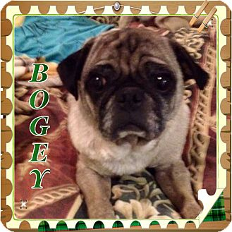 Pug Dog for adoption in Greensboro, Maryland - Bogey