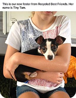 Jack Russell Terrier/Chihuahua Mix Puppy for adoption in Spring Valley, New York - Tiny Tam (rbf)