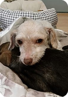Toy Poodle Mix Dog for adoption in West Linn, Oregon - Ian