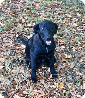 Labrador Retriever Mix Puppy for adoption in Pewaukee, Wisconsin - Jackson-he is a wonderful dog