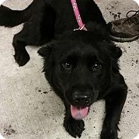 Adopt A Pet :: Bella Boo - Gainesville, FL