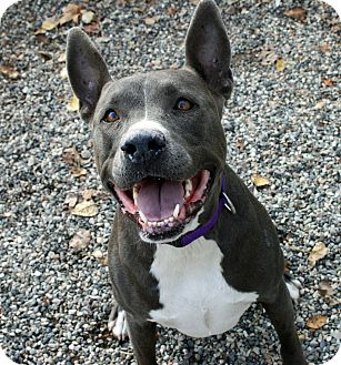 American Staffordshire Terrier/Pit Bull Terrier Mix Dog for adoption in Los Olivos, California - Jewel