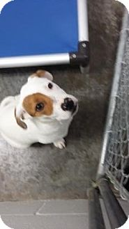Jack Russell Terrier Mix Dog for adoption in Paducah, Kentucky - Jesse