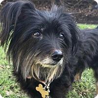 Adopt A Pet :: LORELEI - Los Angeles, CA