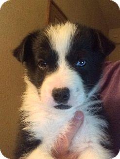 Australian Shepherd/Border Collie Mix Puppy for adoption in Cave Creek, Arizona - Meghan