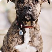 Adopt A Pet :: Layla - Portland, OR