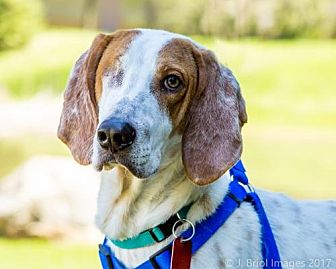 Coonhound/Hound (Unknown Type) Mix Dog for adoption in Shakopee, Minnesota - Captain Morgan D3567